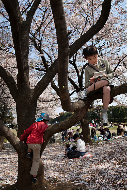 Kids playing on bluuming cherry trees in Tokyo's Tokorozawa park