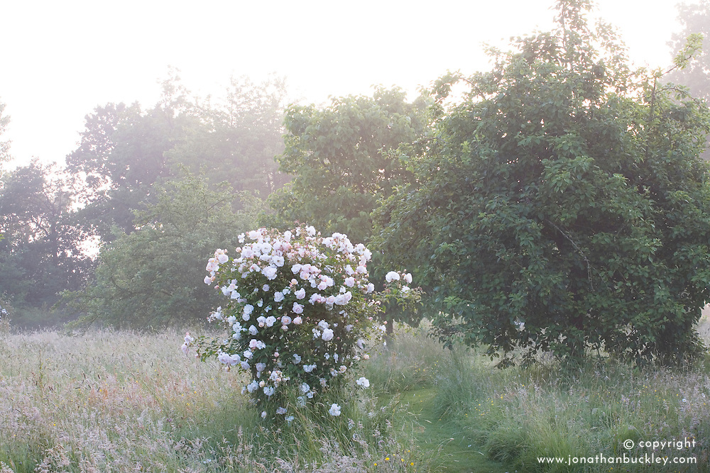 A rose growing in the early misty dawn light in the orchard meadow at Sissinghurst Castle Garden