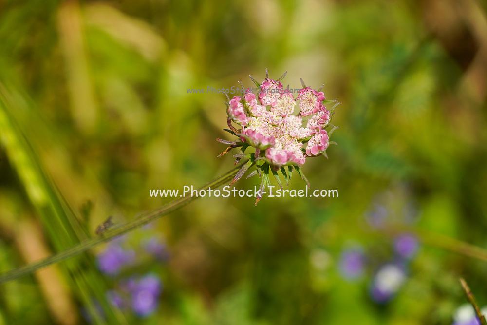 Wild flower photographed at Tel Apollonia, on the Mediterranean Coast, Herzliya, Israel in Spring, April