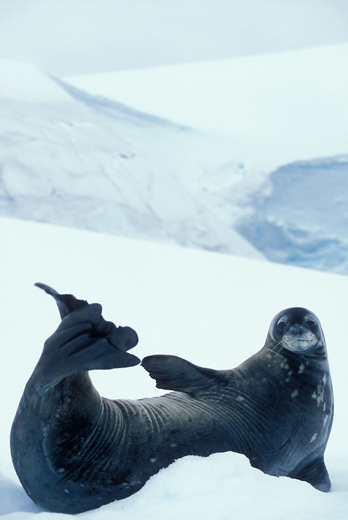 Antarctica, Enterprise Island, Weddell Seal (Leptonychotes weddelli) on snow slope along Antarctic Peninsula