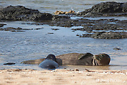 Hawaiian monk seals, Monachus schauinslandi, Critically Endangered endemic species, mother nursing 5-week old pup (will be weaned in 6 days), Larsen's Beach, Moloa'a, Kauai, Hawaii ( Central Pacific Ocean )
