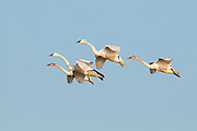 Tundra Swans; Cygnus columbianus, Saginaw Bay, Michigan