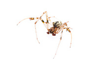 Arrowhead Spider (Verrucosa arenata) - male<br /> TEXAS: Jasper Co.<br /> Brookeland/Lake Sam Rayburn KOA @ 505 Co Rd 212<br /> 31.141606, -93.994174<br /> 22.May.2015<br /> J.C. Abbott #2733 &amp; K.K. Abbott