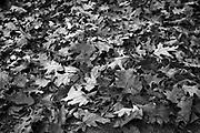 A pile of Autumn oak leaves, Catalonia