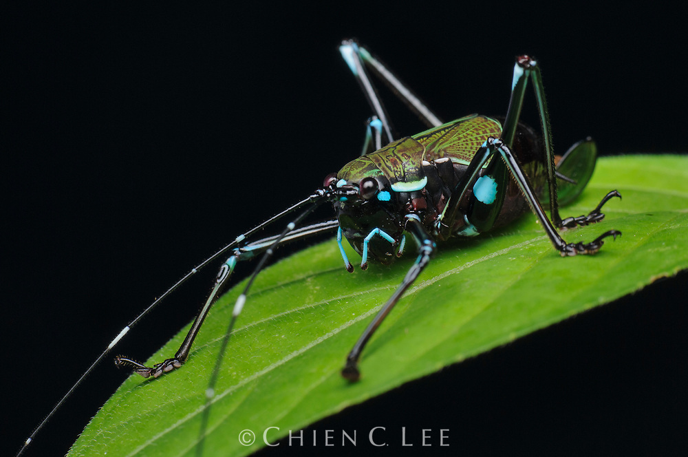 A beautifully patterned juvenile katydid (Scambophyllum sp.) from the rainforest of western Borneo.