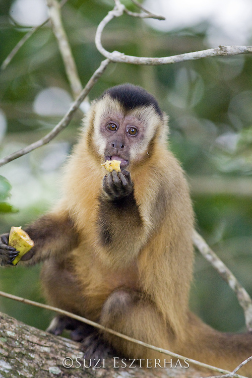 Brown Capuchin Monkey<br /> Cebus apella<br /> Pantanal, Brazil