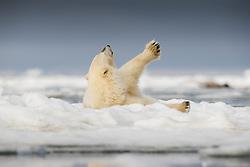 Polar bear (ursus maritimus) streching on drifting ice in Storfjorden, Spitsbergen, Svalbard, Norway