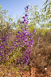 A northern tinsel flower (Cyanostegia cyanocalyx) features stunning purple flowers.  The plant is found on the road to Bidyadanga and the Cape Leveque road.