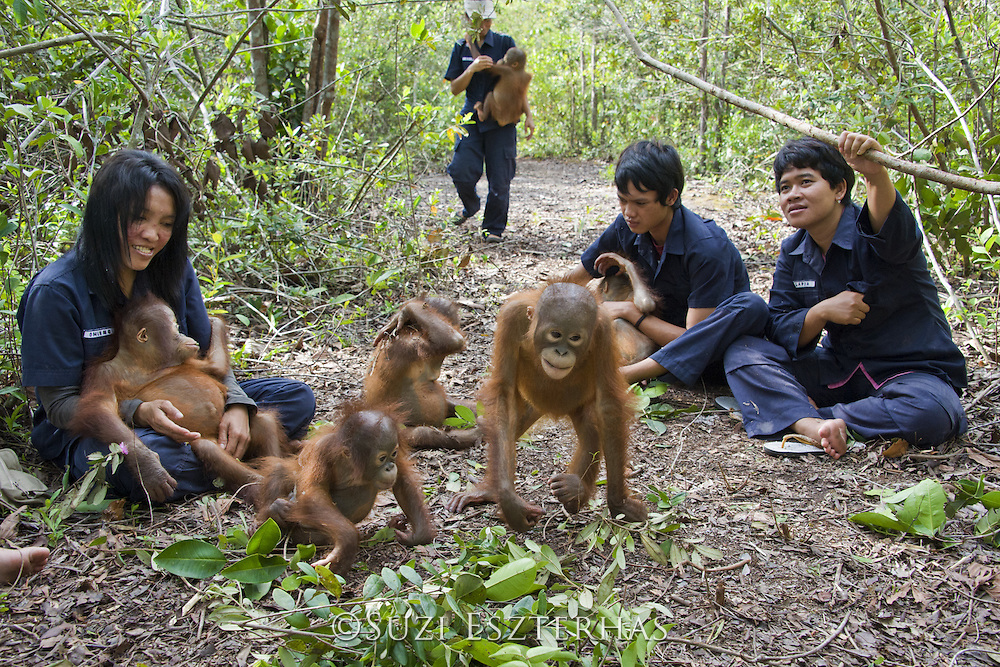 Bornean Orangutan<br /> Pongo pygmaeus<br /> Caretakers with infants in forest during forest exploration and training program<br /> Orangutan Foundation International's Orangutan Care Center, Borneo, Indonesia<br /> *No model release available - for editorial use only