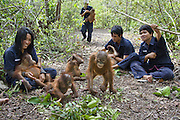 Bornean Orangutan<br /> Pongo pygmaeus<br /> Caretakers with infants in forest during forest exploration and training program<br /> Orangutan Care Center, Borneo, Indonesia<br /> *No model release available - for editorial use only