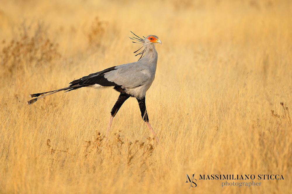 The Secretarybird or Secretary Bird (Sagittarius serpentarius) is a large, mostly terrestrial bird of prey. Endemic to Africa, it is usually found in the open grasslands and savannah of the sub-Sahara. Although a member of the order Accipitriformes, which also includes many other diurnal raptors such as kites, buzzards, vultures, and harriers, it is given its own family, Sagittariidae.