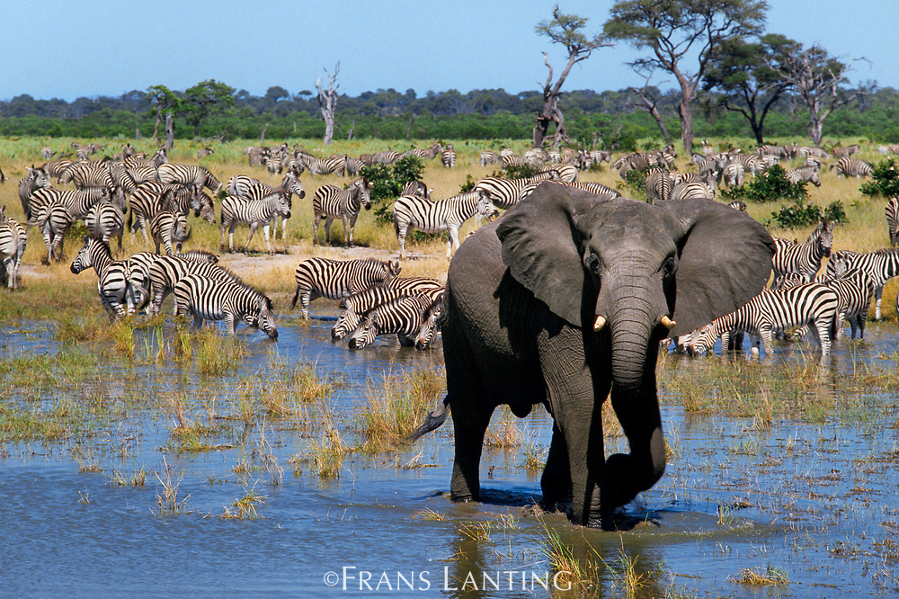 African elephant and zebras at waterhole, Chobe National Park, Botswana