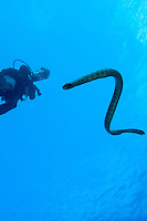 Sea Snake and Diver<br /> <br /> Shot in Indonesia