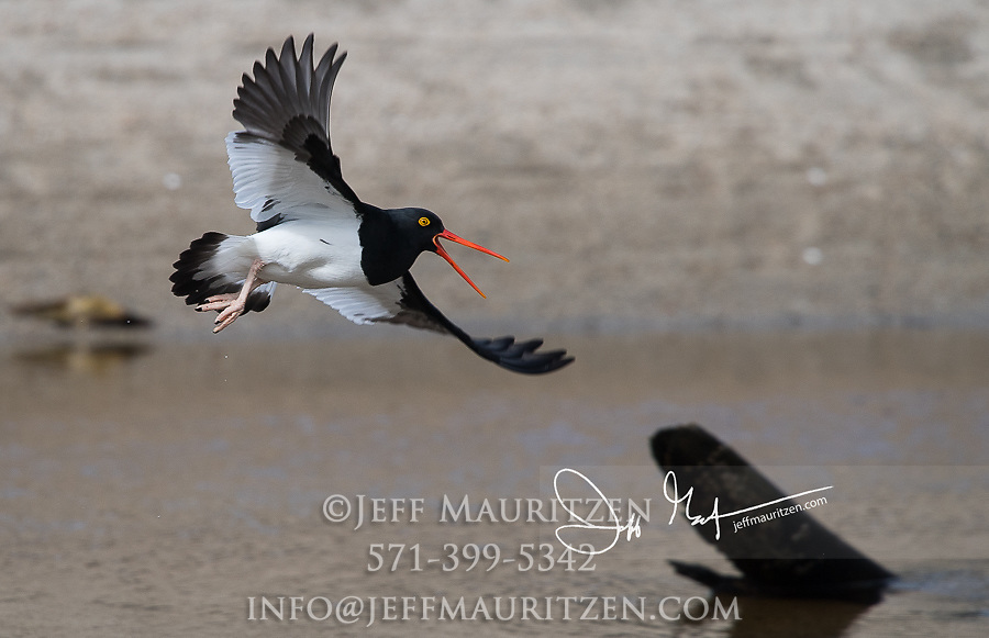 A Magellanic oystercatcher in flight over Laguna San Rafael National Park, Chile.