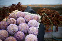 A scene from island Flatey, Iceland. Purple Sea Urchin's by the harbour. Flatey is the largest island of the western island, a cluster of about forty large and small islands and islets located in Breiðafjörður on the northwestern part of Iceland.