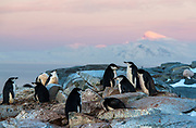 Breeding colony of Chinstrap Penguins (Pygoscelis antarctica) on the top of Useful Island, Antarctica