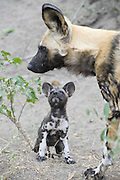 African Wild Dog<br /> Lycaon pictus <br /> 6 week old pup looking at adult<br /> Northern Botswana, Africa<br /> *Endangered species