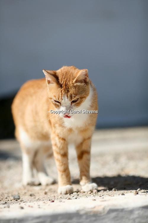 Cats at Livadia, Tilos, Dodecanese, Greece
