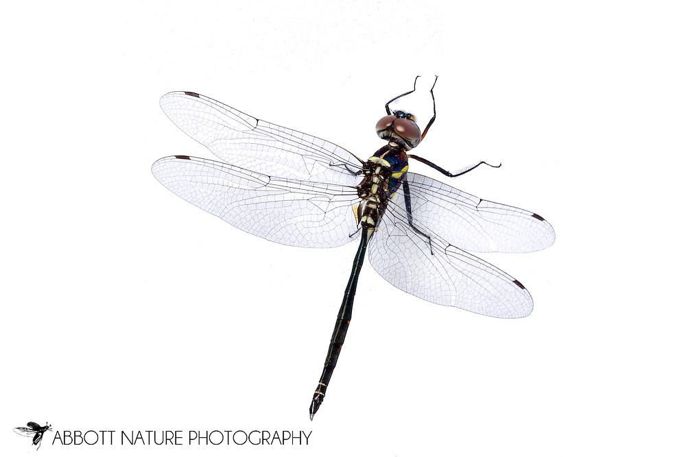 Texas Emerald (Somatochlora margarita) - male<br /> TEXAS: Jasper Co.<br /> Boykin Springs Recreational Area; Angelina National Forest<br /> 20-May-2015<br /> J.C. Abbott #2734 &amp; K.K. Abbott