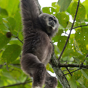 The lar gibbon (Hylobates lar), also known as the white-handed gibbon, is a primate in the Hylobatidae or gibbon family. Khao Ya
