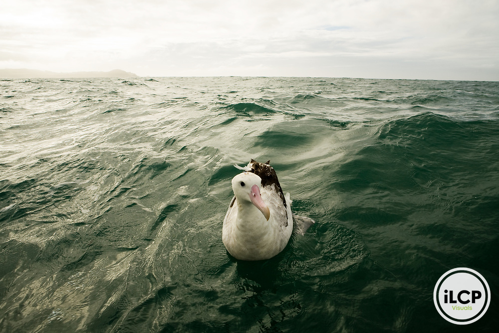 Gibson's Albatross (Diomedea antipodensis gibsoni) on water near coast, Kaikoura, South Island, New Zealand