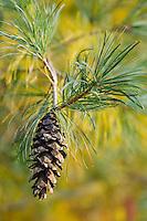 Closeup of a pine cone on a branch&#xA;<br />