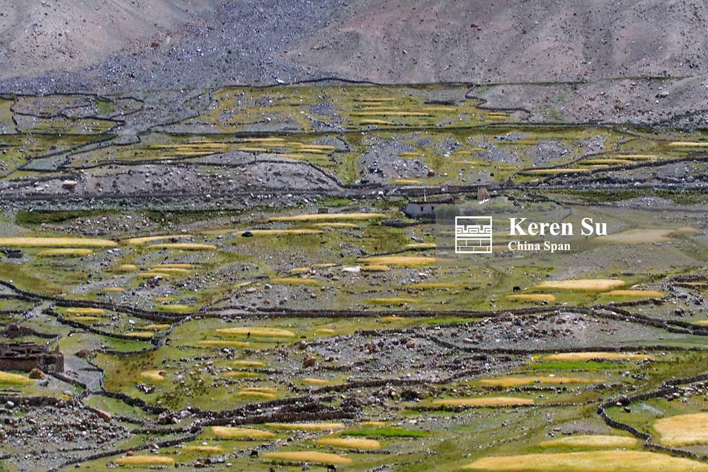 Barley field and village in the Karakorum, Nubra Valley, Ladakh, India