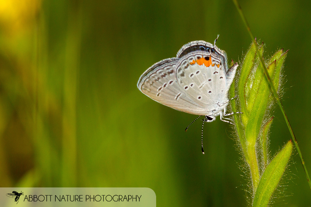 Eastern Tailed-Blue - Hodges#4361 (Cupido comyntas)<br /> United States: Texas: Lamar Co.<br /> Camp Maxey National Guard, Powderly<br /> 25-Aug-2017<br /> J.C. Abbott #2979