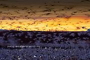 Snow Geese, Chen caerulescens, Bosque del Apache NWR, New Mexico