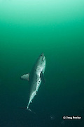 salmon shark, Lamna ditropis, swims upward vertically chasing a bait, Port Fidalgo, Prince William Sound, Alaska, U.S.A.; this apex predator, sometimes called the Pacific porbeagle, is a mackerel shark in the order Lamniformes; it swims in cold water, but is warm-blooded ( homeothermic )