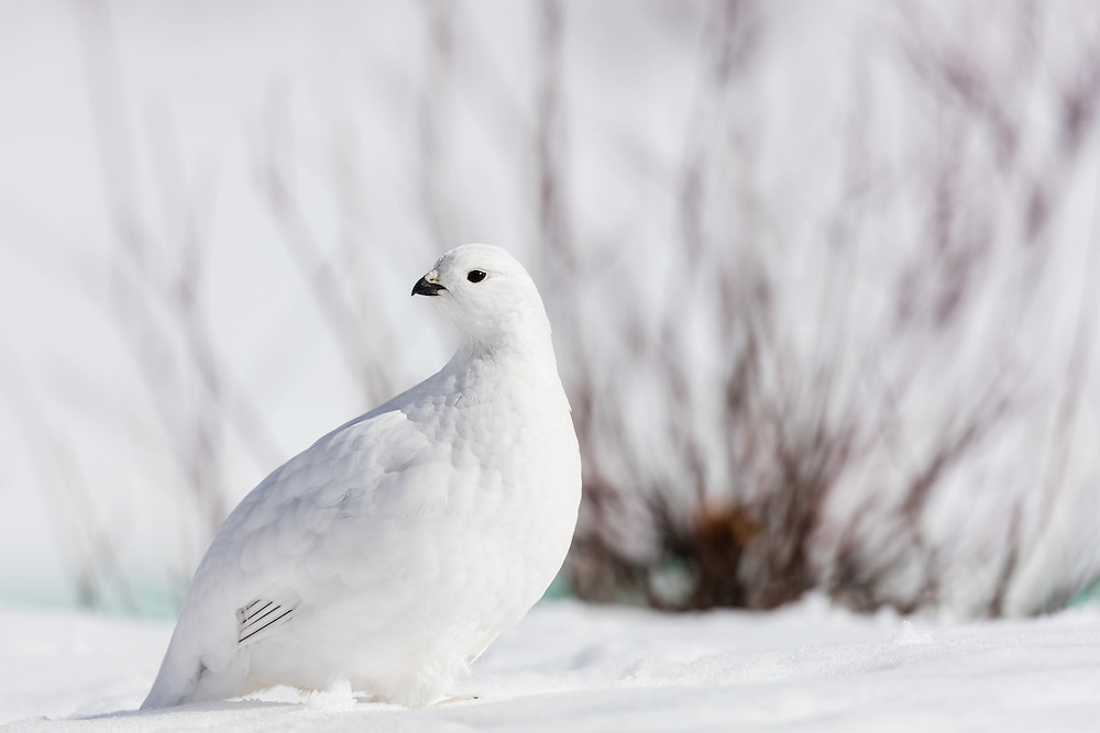 Willow Ptarmigan (Lagopus lagopus) foraging among willows in early spring in Arctic Valley in Southcentral Alaska. Afternoon.