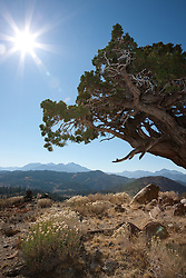 """Juniper Tree 5"" - This very old juniper tree was photographed along Monitor Pass, California."