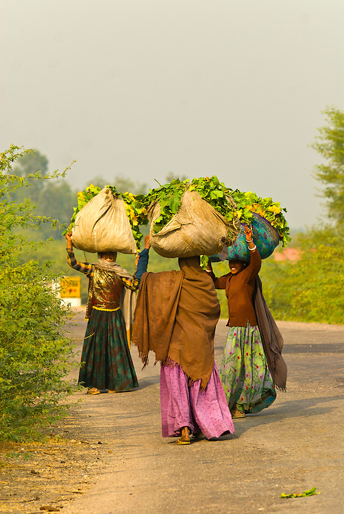 Women carrying loads on their heads on a road in Rajasthan between Ranthambhore and Jaipur, India