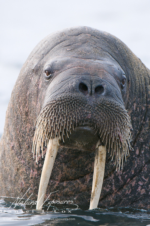 Walrus, Svalbard, Norway