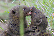 Mongooses
