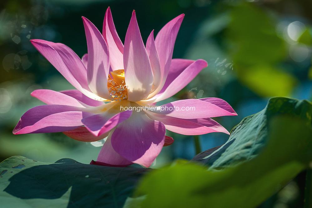 Vietnam Images-Hoa sen-Lotus-Flower -Hoàng thế Nhiệm