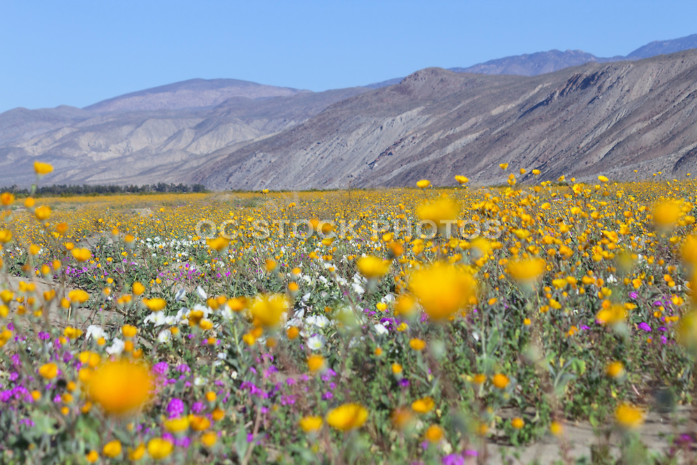 Wildflowers Blooming in Anza Borrego Desert State Park California