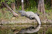Alligator in Turner River, Everglades, Florida, United States of America