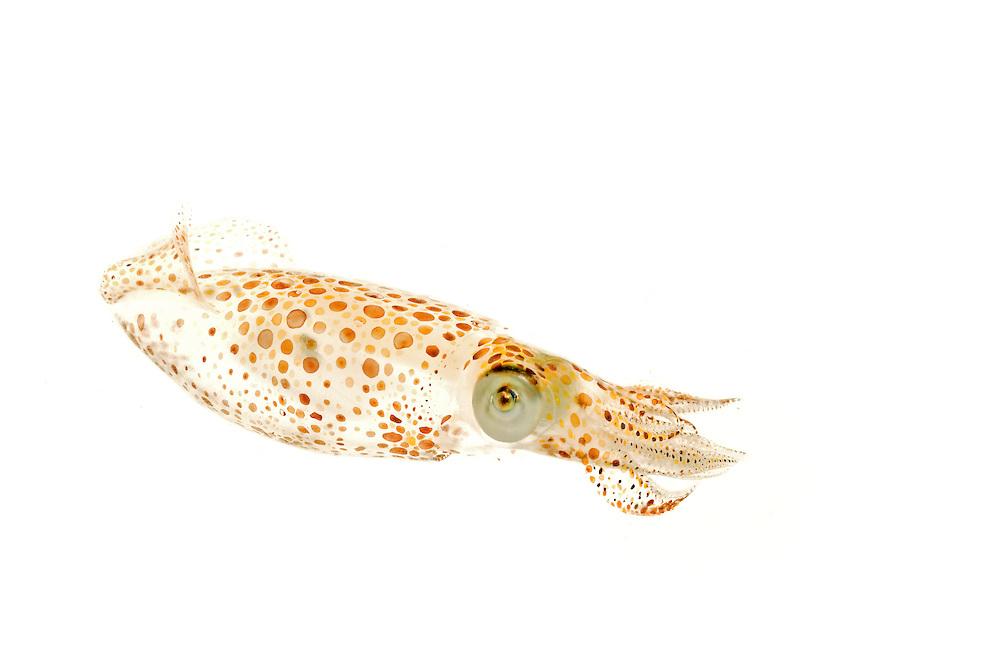 Atlantic brief squid (Lolliguncula brevis), Awendaw, SC