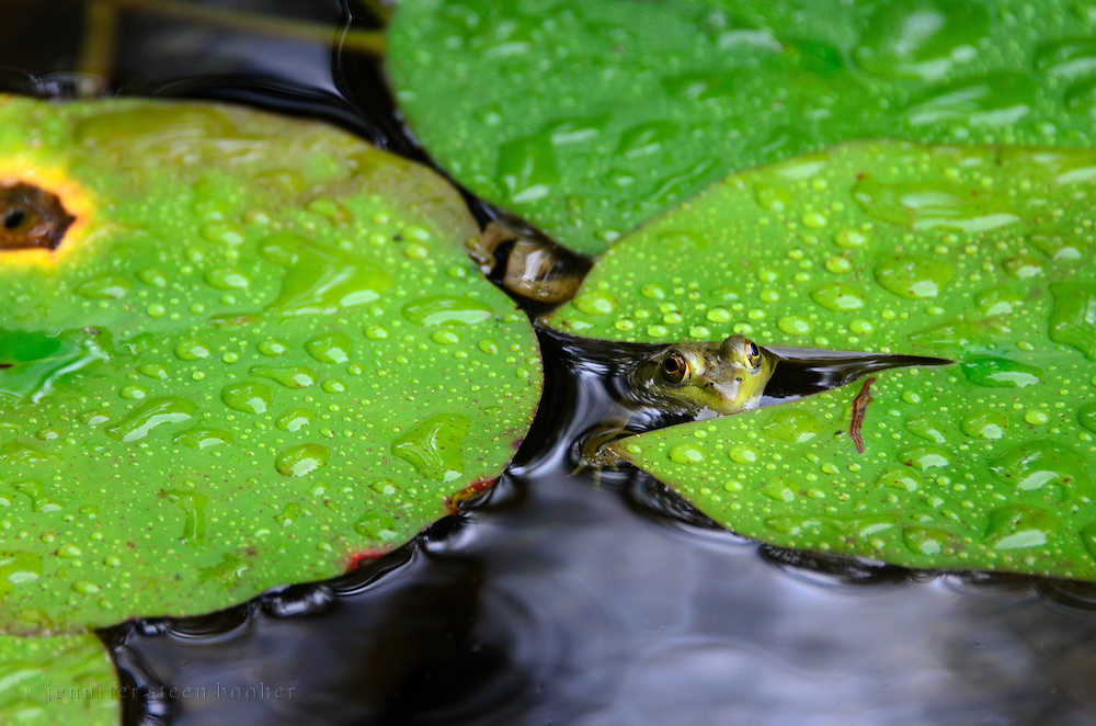 Northern Green Frog (Rana clamitans melanota) peeking through lilypads, Northeast Harbor, Maine.
