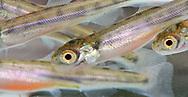 Sockeye Salmon (fry)<br /> <br /> Paul Vecsei/Engbretson Underwater Photography