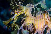 Leafy Sea Dragon..Shot in Australia