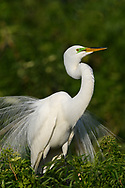 Great Egret in breeding colors and plumage