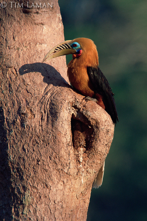 Rufous-necked hornbill (Aceros nipalensis) at his nest sight..Huai Kha Khaeng Wildlife Sanctuary, Thailand.