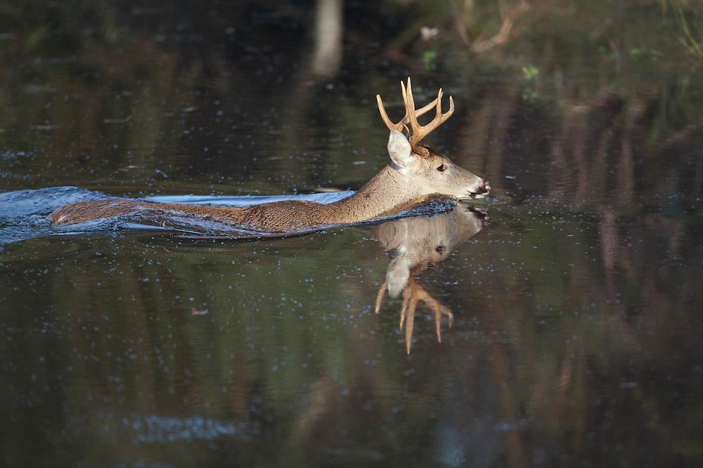 nc wildlife, nc wildlife photography, north carolina wildlife photographer, north carolina wildlife photography, pocosin lakes nwr, pungo wildlife refuge, deer swimming, buck crossing, buck swimming