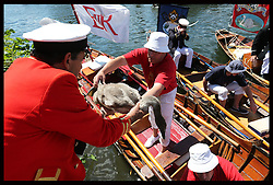 Image licensed to i-Images Picture Agency. 14/07/2014. Shepperton, United Kingdom. A cygnet is brought ashore to be weighed and measured during the Swan Upping, the annual census of the swan population on the river Thames .Picture by Stephen Lock / i-Images