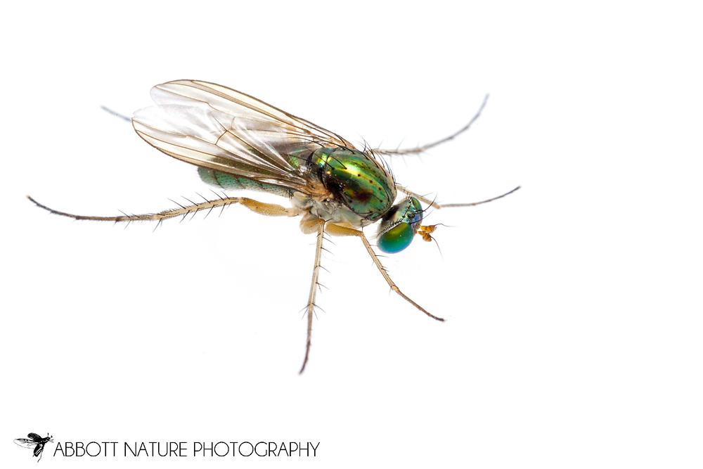 Longlegged Fly (Condostylus sp.)<br /> KENTUCKY: Jessamine Co.<br /> Nicholasville<br /> 22-Jun-2015<br /> J.C. Abbott #2750 &amp; K.K. Abbott