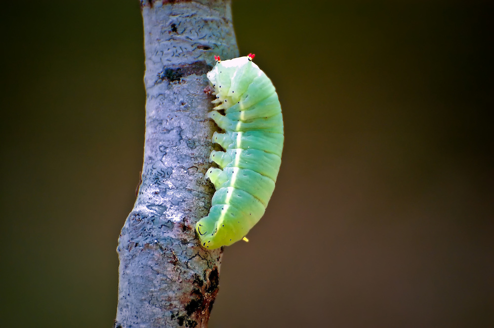 This promethea moth caterpillar was found in a very old hardwood forest near the Lake Jackson Indian Mounds in Tallahassee, Florida. It was one of the biggest caterpillars we've ever seen!