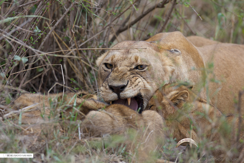 Lioness getting angry at her cubs while feeding on a warthog