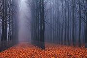 Columns of poplar trees in the fog